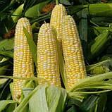 Семена кукурузы Элидиум ФАО 210  (МАИС Черкассы), фото 3