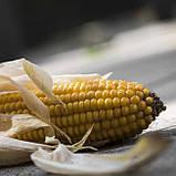 Семена кукурузы Элидиум ФАО 210  (МАИС Черкассы), фото 5