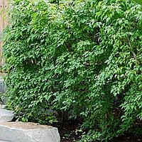 """Клен Гиннала """"Флейм"""" (копані, висота від 300 см, Ø 12 см)"""