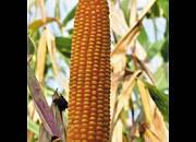 Семена кукурузы ЕС Зизу ФАО 210, 130 ц/га,. Евралис Семанс / Украина