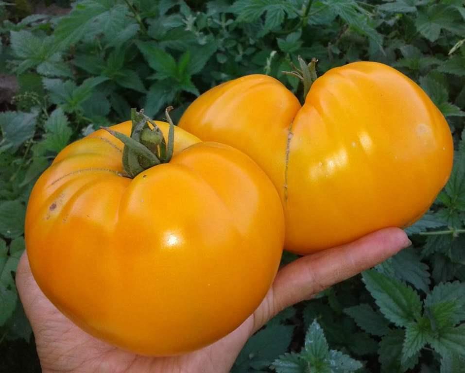 Семена томатов Бычье сердце жёлтое