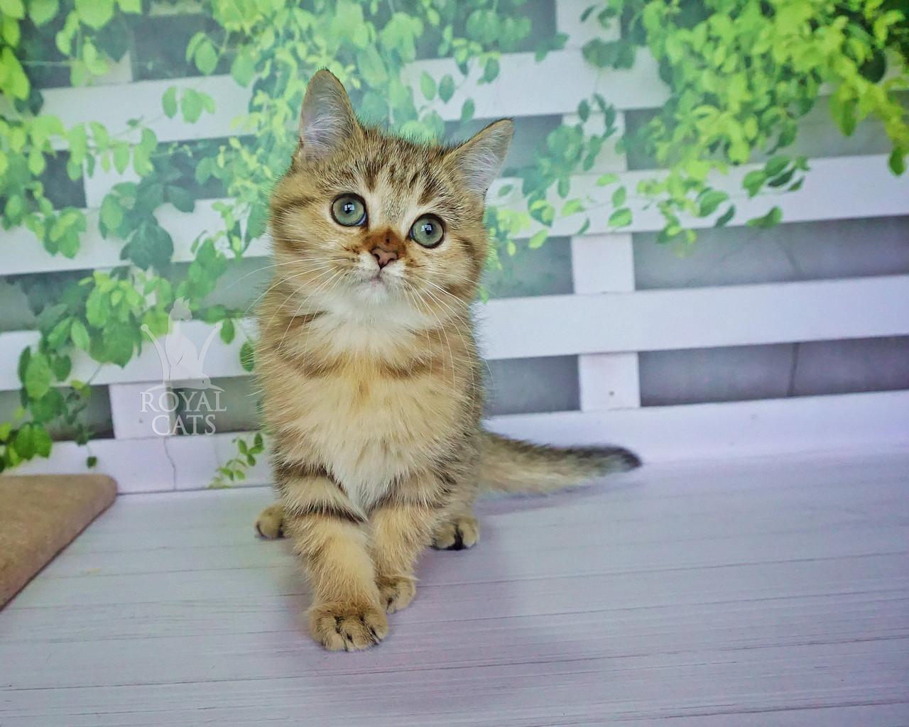 Кошечка шотландская прямоухая шиншилла, рождена 29.07.2020 в питомнике Royal Cats. Украина, Киев