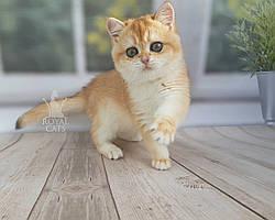 Кошечка шотландская прямоухая шиншилла, рождена 15.08.2020 в питомнике Royal Cats. Украина, Киев