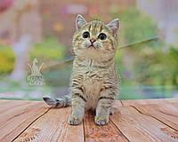 Кошечка шотландская прямоухая шиншилла, рождена 17.08.2020 в питомнике Royal Cats. Украина, Киев, фото 1