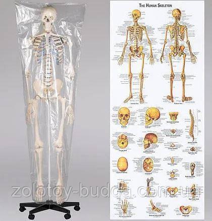 Макет, скелет анатомический 181см.