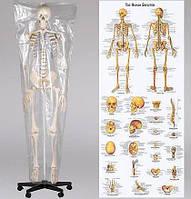 Макет, скелет анатомический 181см., фото 1