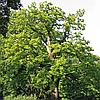 Каштан їстівний (копані, висота від 220 см)