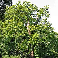 Каштан съедобный (копанные, высота от 220 см)