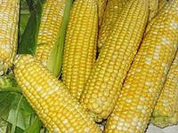 Гибрид семян кукурузы на посев Amelior