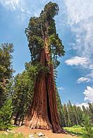 Секвойядендрон гигантский / Секвоядендрон / Sequoiadendron giganteum С5, 30-50
