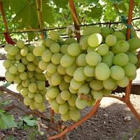 Виноград Айвенго