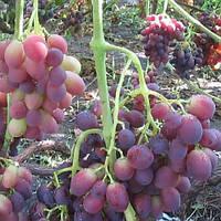 Виноград Бордова мантія