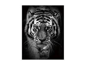 Картина на склі Signal Тигр TIGER80