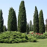 Кипарис вечнозеленый (копанные, высота от 80см)