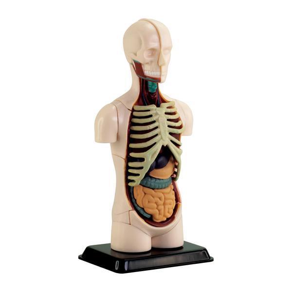 Набор для исследований Edu-Toys Модель туловища человека сборная, 12,7 см (SK008)