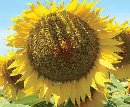 Насіння соняшника ЛГ 50300, фото 2