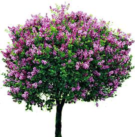 Саджанці декоративних дерев та кущів
