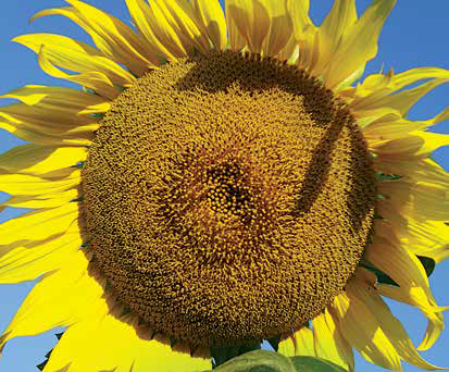 Насіння соняшника ЛГ 5542 КЛ, фото 2