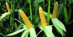 Импортные семена кукурузы на силос MAS 37.V