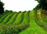 Скільки дає прибутку гектар поля смородини?