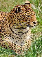 Картина Дикая кошка на натуральном дереве Артприз 60х40см (КДДКШ10/4060/83), фото 1