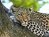 Картина Леопард на дереве 3 на натуральном дереве Артприз 30х50см (КДДКШ19/3050/92)
