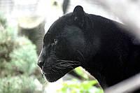 Картина Черная пантера на натуральном дереве Артприз 30х50см (КДДКШ1/3050/74), фото 1