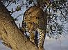 Картина Леопард на охоте на натуральном дереве Артприз 30х50см (КДДКШ25/3050/98)