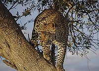 Картина Леопард на охоте на натуральном дереве Артприз 30х50см (КДДКШ25/3050/98), фото 1