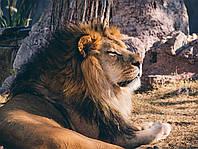 Картина Лев на натуральном холсте Артприз 50х90см (ДКШ3/5090/76), фото 1