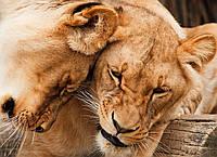Картина Дружба львиц на натуральном холсте Артприз 40х60см (ДКШ7/4060/80), фото 1