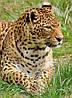 Картина Дикая кошка на натуральном холсте Артприз 90х50см (ДКШ10/5090/83)
