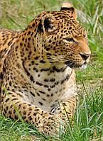 Картина Дикая кошка на натуральном холсте Артприз 90х50см (ДКШ10/5090/83), фото 1