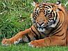 Картина Тигр на натуральном холсте Артприз 50х60см (ДКШ14/5060/87)
