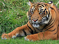 Картина Тигр на натуральном холсте Артприз 50х60см (ДКШ14/5060/87), фото 1