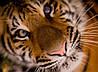 Картина Тигр крупный план на натуральном холсте Артприз 40х60см (ДКШ17/4060/90)