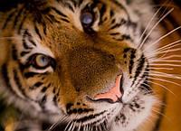 Картина Тигр крупный план на натуральном холсте Артприз 40х60см (ДКШ17/4060/90), фото 1
