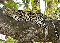 Картина Леопард на дереве 2 на натуральном холсте Артприз 80х100см (ДКШ18/80100/91), фото 1