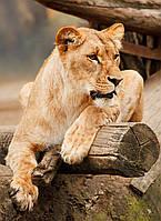 Картина Львица на бревне на натуральном холсте Артприз 40х70см (ДКШ20/4070/93), фото 1