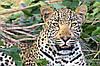 Картина Дикие кошки на натуральном холсте Артприз 20х40см (ДКШ24/2040/97)