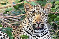 Картина Дикие кошки на натуральном холсте Артприз 20х40см (ДКШ24/2040/97), фото 1