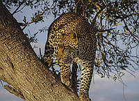 Картина Леопард на охоте на натуральном холсте Артприз 80х90см (ДКШ25/8090/98), фото 1