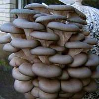 Мицелий грибов Вешенка 100 г
