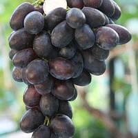 Виноград Дозор