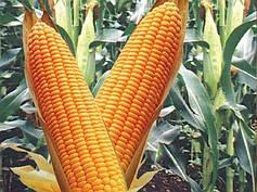 Кукуруза от Изовита