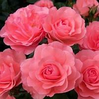 Троянда мініатюрна Керрі