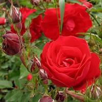 Троянда мініатюрна Ред Ельф