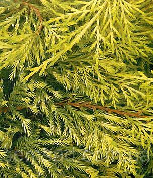 Ялівець середній Голден Саусер \ Juniperus media Golden Saucer ( С1.5л ) саджанці, фото 2
