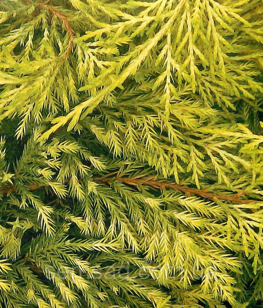 Ялівець середній Голден Саусер \ Juniperus media Golden Saucer ( С1.5л ) саджанці