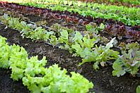 Руккола – вначале сорняк, потом изысканная пряность